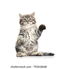 Little gray kitten sitting on its hind legs. Isolated on a white background.