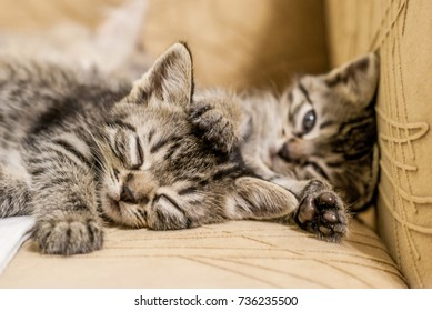 Little gray kittens sleeping on the chair in the house. Soft focus