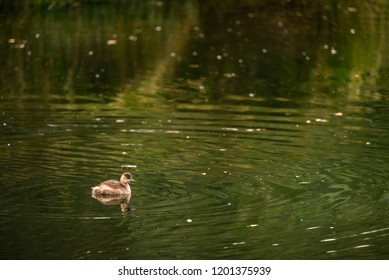 A Little Grebe bird floats in a canal in Amsterdamse Waterleidingduinen, North Holland, the Netherlands. Ripples are seen in the green reflection on the water. The bird is called dodaars by the Dutch.
