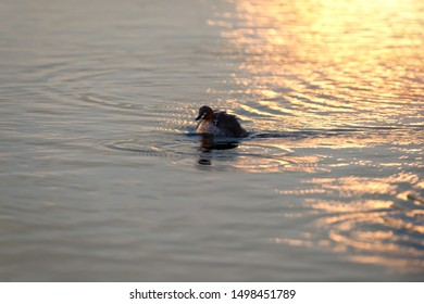 Little Grebe duck mother together with chicks on its back swimming and sightseeing around the lake at sunset. Little Grebe duck and chicks