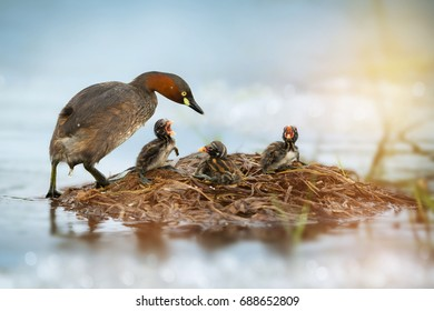Little Grebe (Tachybaptus ruficollis) duck parents coming and calm down their three hungry fussy chicks at floating nest on the lake. Beautiful duck family at nest