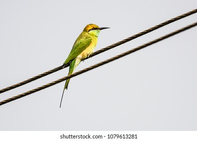 Little green bee eater on electric wire with ble sky background