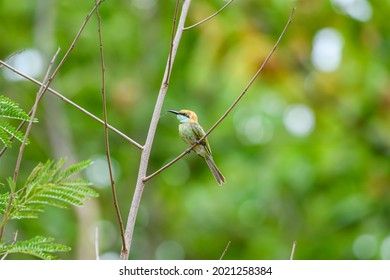 """Little Green Bee-eater bird perching on branch in tropical rainforest, Khao Yai National Park, UNESCO World Heritage Site under the name """"Dong Phayayen-Khao Yai Forest Complex"""""""