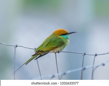 Little Green bee-eater (Merops orientalis) On the wire fence.