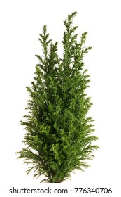 Little green cypress tree. Isolated on white.