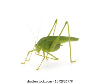 Little green grasshopper isolated on a white background.