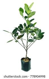 Little green Jackfruit tree, Artocarpus heterophyllus,  tree in thailand style flower pot isolated on white / Little Jackfruit tree in flower pot isolated/Little black tree