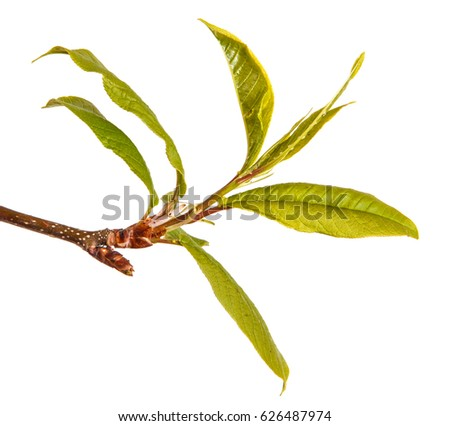 Little Green Leaves On Bird Cherry Stock Photo Edit Now