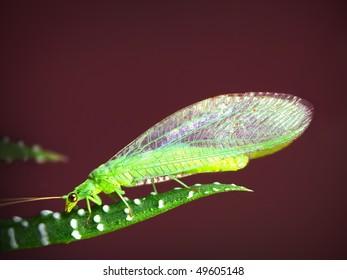 Little green midge sitting on the leaf of Haworthia