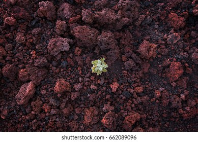 A little green plant is growing from the old red lava stones on the mount Etna, Italy.