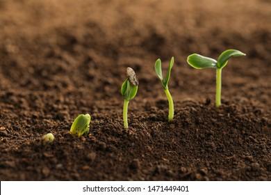 Little green seedlings growing in fertile soil