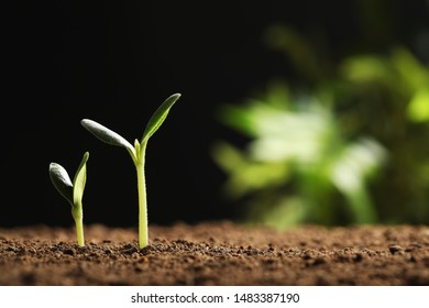 Little green seedlings growing in soil against blurred background, closeup view. Space for text