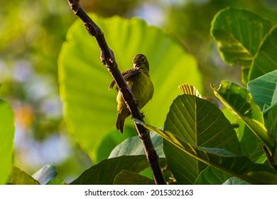Little green sunbird of Singapore