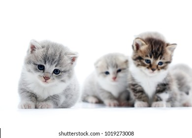 Little grey fluffy adorable kitten looking straight to the camera with beautiful blue eyes while others posing in the background. Blurred white studio cute amusing funny cats anxious curious kitties