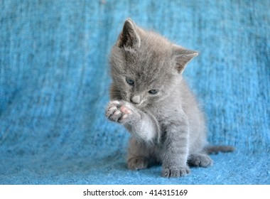 little grey kitten licking paw on blue indoor background