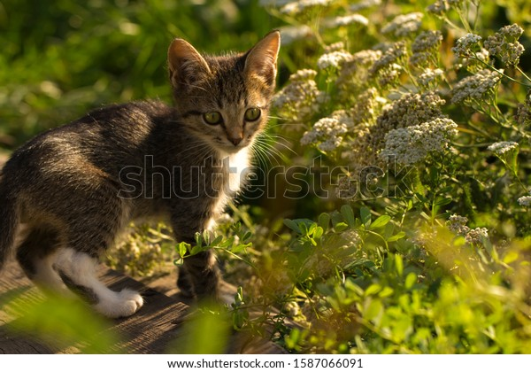 A little grey striped kitten in a green sunny summer garden. Nice scene with a pet.