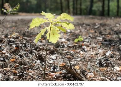Little growing oak in summer forest
