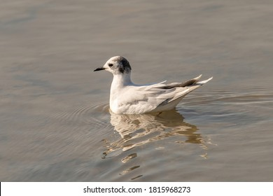 Little Gull Hydrocoloeus minutus or Larus minutus is a small gull which breeds in northern Europe and Asia