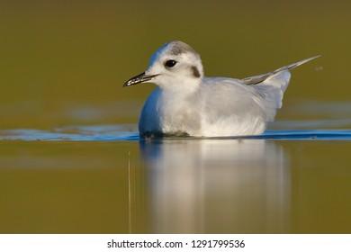 Little Gull (Hydrocoloeus minutus) on water