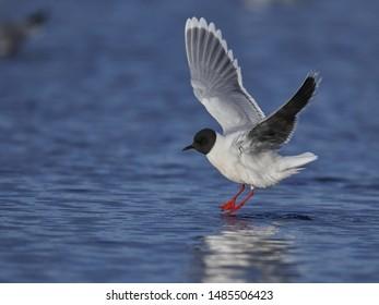 Little Gull landing on a lake