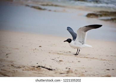 a Little Gull on the beach with his wing opened