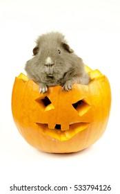 little halloween pets (curly III)