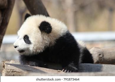 Little Happy Giant Panda Cub is Taking a Sun Bath, New Wolong Giant Panda Breeding Center, China