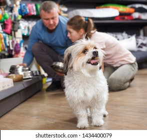 Little havanese waiting while its owners choosing dog accessories in pet shop