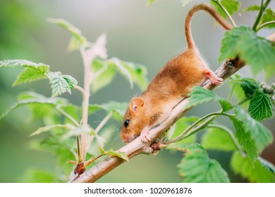 Little hazel dormouse climb the twigs in nature. Muscardinus avellanarius - in Hungary is the animal of the year 2017. Endangered animal.