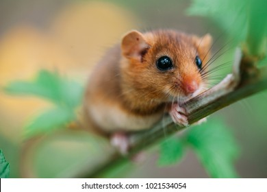 Little hazel dormouse climb the twigs in nature. Muscardinus avellanarius - Endangered animal.