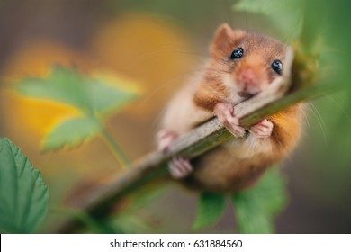 Little hazel dormouse climb the twigs in nature. Muscardinus avellanarius - in Hungary is the animal of the year 2017.