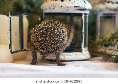 Little hedgehog butt for Christmas. The hedgehog climbed into the lantern. The animal's tail turned back