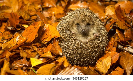 A little hedgehog curled up in cozy autumn leaves