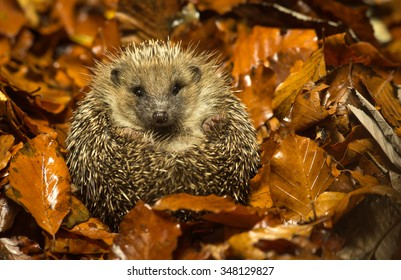 A little hedgehog curled up in some golden autumn leaves