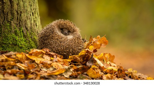 A little hedgehog curled up in some golden autumn leaves next to a large tree in the forest