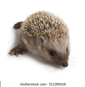 Little hedgehog isolated on white background