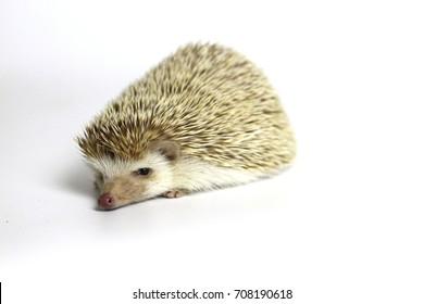 Little hedgehog lovely