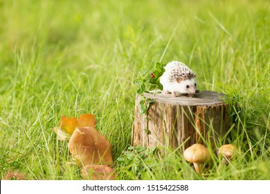 little hedgehog on a summer stump in the forest