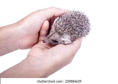 Little hedgehog sits in hands isolated on white background