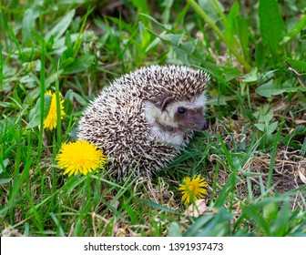 little hedgehog in the spring forest, among the first spring flowers
