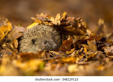 A little hedgehog under some autumn leaves