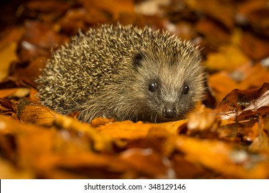 A little hedgehog walking through autumn leaves looking straight at the camera