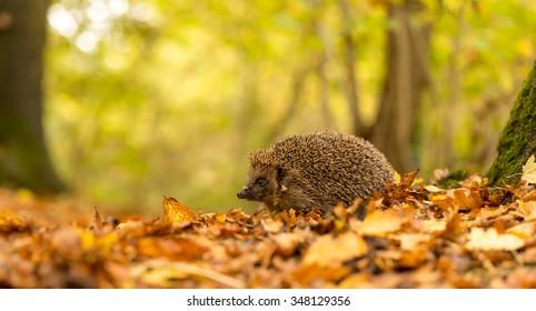 A little hedgehog walking through autumn leaves