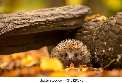 A little hedgehog walking through autumn leaves straight at the camera