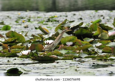 Little heron searches for prey on the river in thickets of water lilies ( Nuphar plant). The little bittern or common little bittern (Ixobrychus minutus) is a wading bird in the heron family.