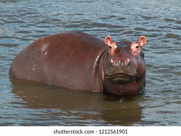 A little hippo looks at the camera while wading in the Nile river