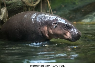 Little hippo stands in the water on the blurry background in the zoo in Singapore. Closeup photo. Shoot from the side. Horizontal.