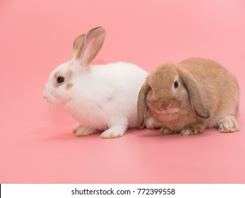 Little Holland Lop rabbit white and brown color on pink background