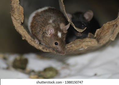 little house mice playing and eating