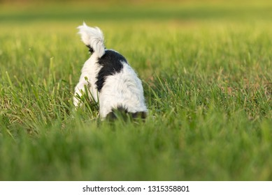 Little hunter dog digs in the meadow for mice and is very busy. Small Jack Russell Terrier 4 years old.